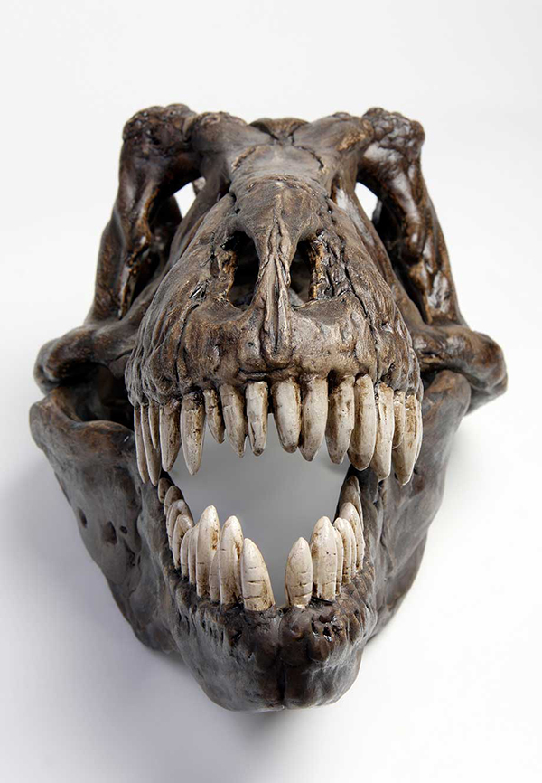 A T-Rex Fossil displaying a full set of teeth
