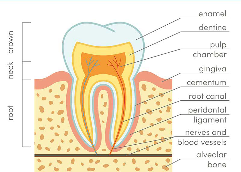 The primary layers of the tooth: enamel, dentin, and pulp.